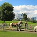 Horse and donkeys and Canary Wharf