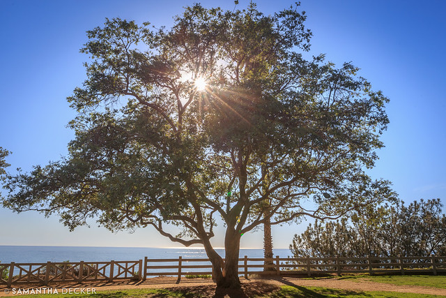 A Tree in Palisades Park
