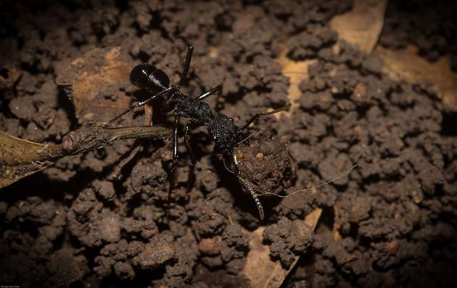 large Ponerid ant