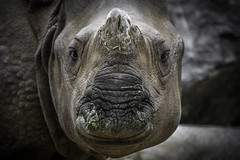 Jeezan, A Greater One-Horned Rhino