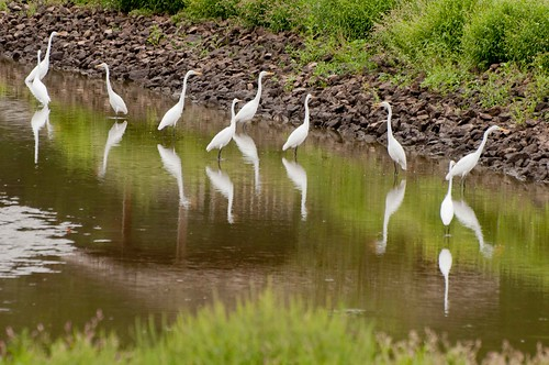 Egrets, Egrets, and More Egrets
