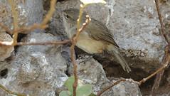 Nihoa Millerbird