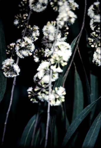 Eucalyptus sp. (Dungog)