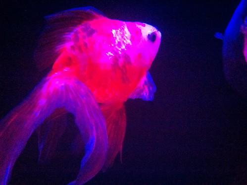Goldfish (Red Ver.)
