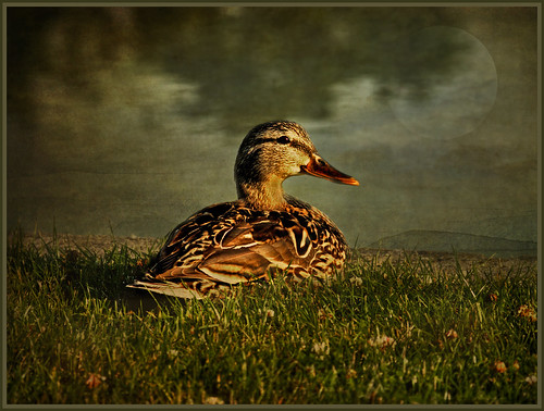 Mrs. Duck by FocusPocus Photography