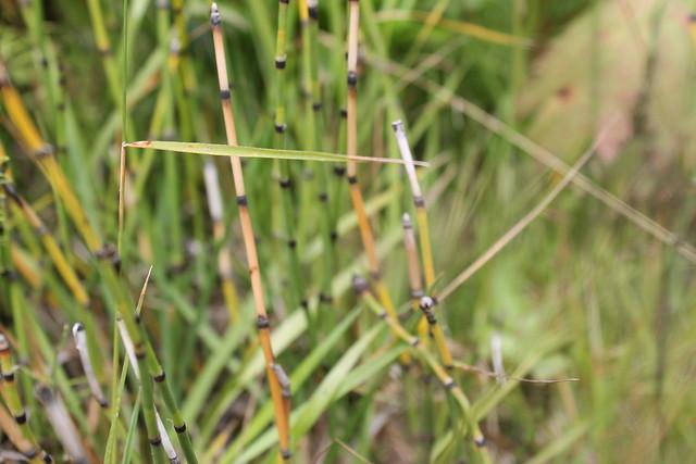 cola de caballo Equisetaceae Islandia Iceland