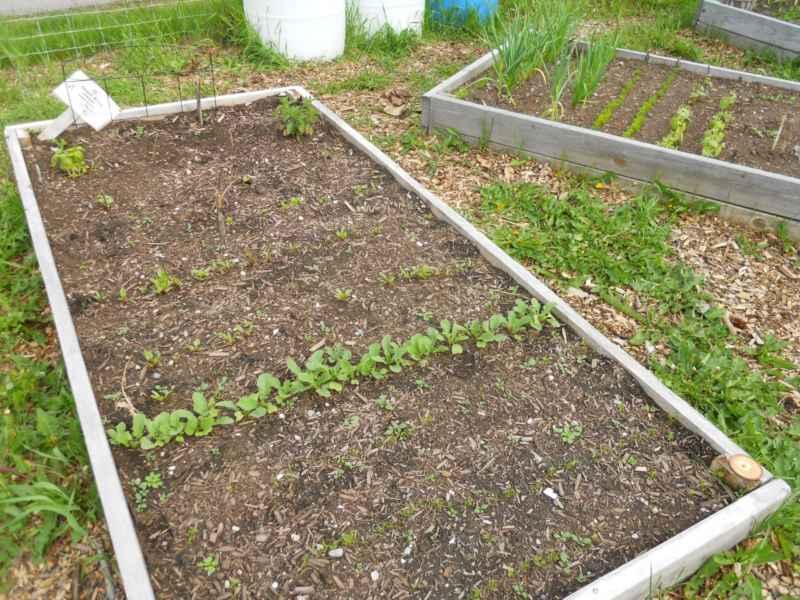 Jasper community garden Canada 6