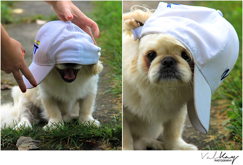 Pekingese Close Ups and Candid Moments