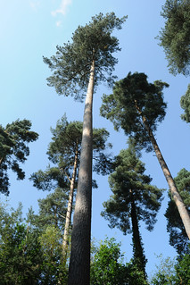 Firs on the sculpture trail