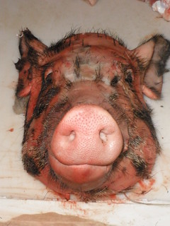 Piggl