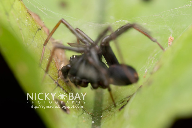 Ground Spider (Zodariidae) - DSC_4776