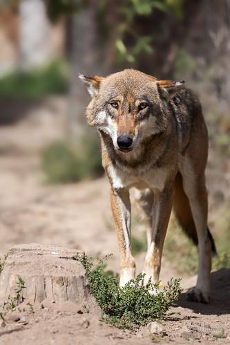 Europäischer Wolf by CROW1973
