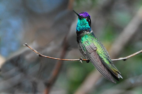 Magnificent Hummingbird [EXPLORED]