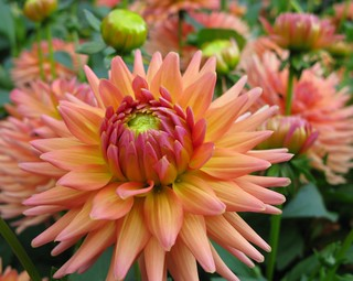 Dahlia Bokeh On Sunday