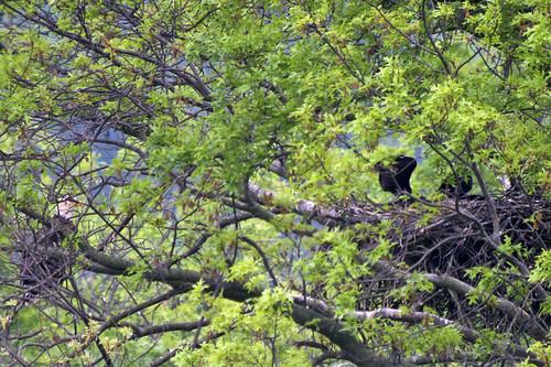 ohio baldeagle haliaeetusleucocephalus eaglet digiscoped higginsport