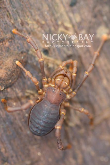 Harvestman (Opiliones) - DSC_4290