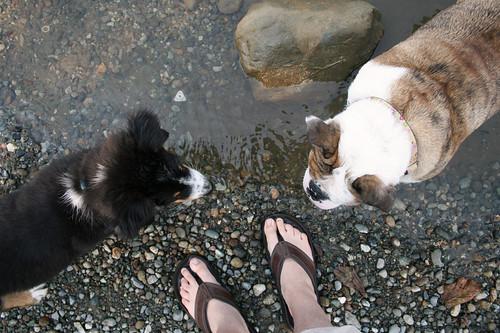 dog pet feet beach wet water puppy friend rocks play skin sandals aerialview pebbles bulldog heads shorts australianshepherd