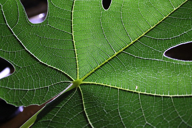 Fig leaf - alas, no figs (Explored)