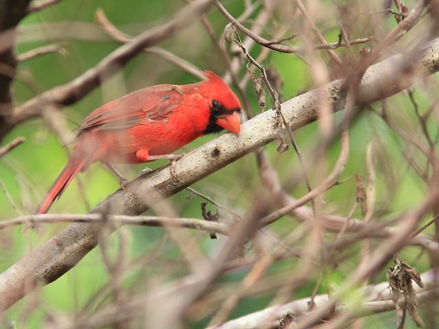 Northern Cardinal 20120919