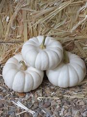 White Pumpkins 9.9
