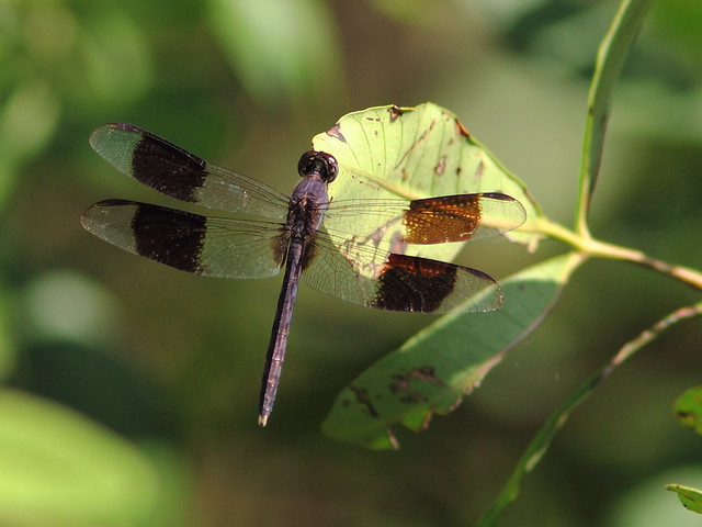 Band-winged Dragonlet (Erythrodiplax umbrata) 20120920
