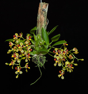 Oncidium coloratum