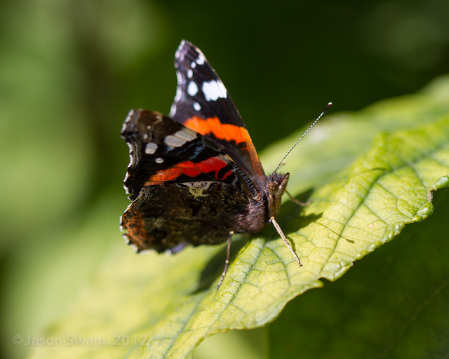 Red Admiral Butterfly | Flickr - Photo Sharing!
