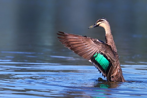 Pacific Black Duck - 1DX