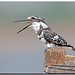 Pied Kingfisher (Ceryle rudis) by birdsforlife