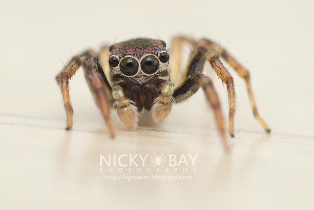 Jumping Spider (Salticidae) - DSC_6120