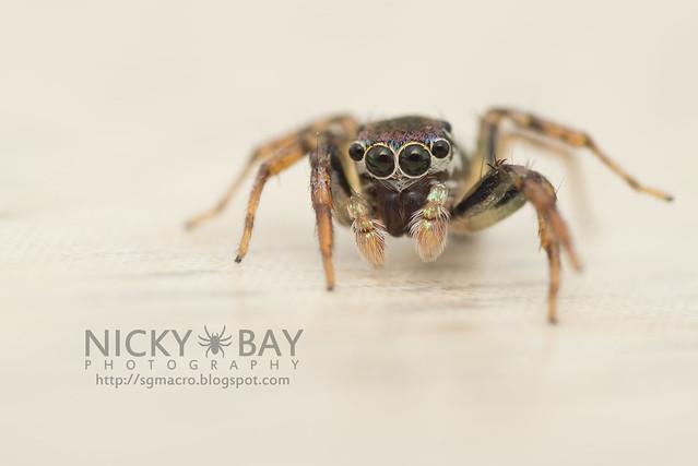 Jumping Spider (Salticidae) - DSC_6114
