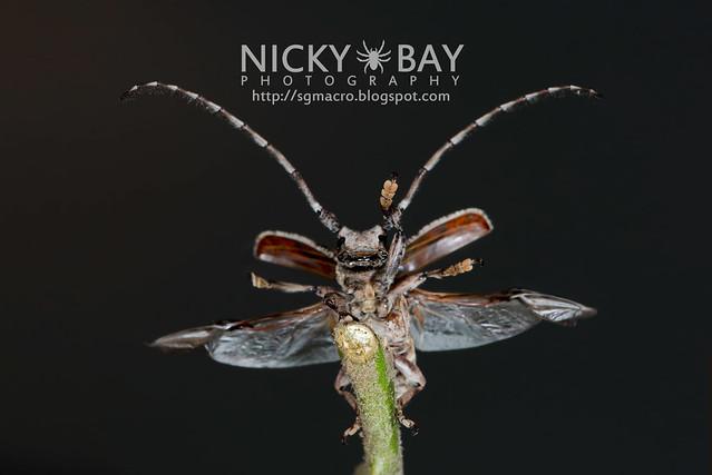 Longhorn Beetle (Cerambycidae) - DSC_5503