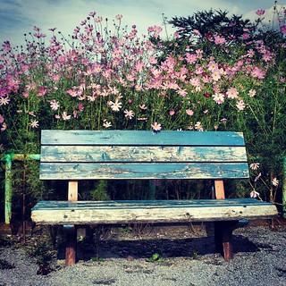 椅子とコスモス #花 #flowet #emptychair