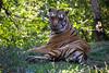 Tigrul
