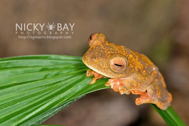Harlequin Flying Frog (Rhacophorus pardalis) - DSC_8909