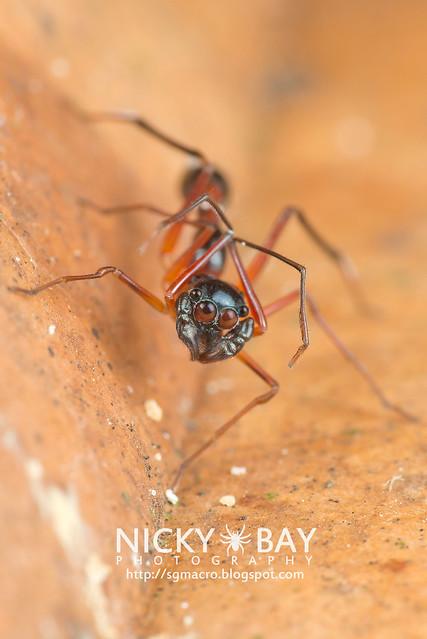 Kerrengga Ant-Like Jumper (Myrmarachne plataleoides) - DSC_8553