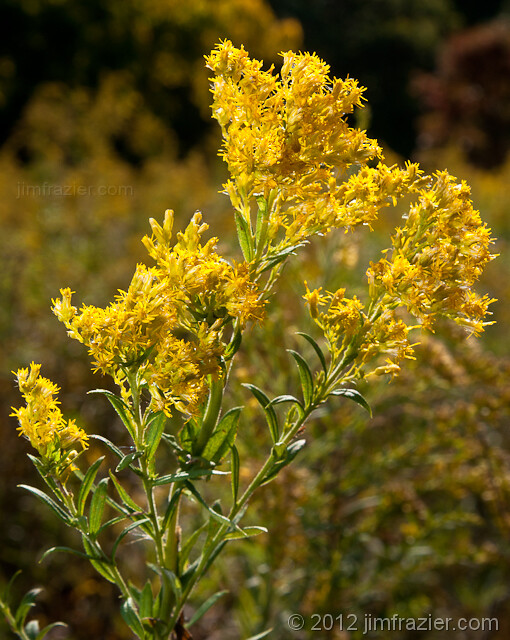 My Annual Goldenrod Shots I