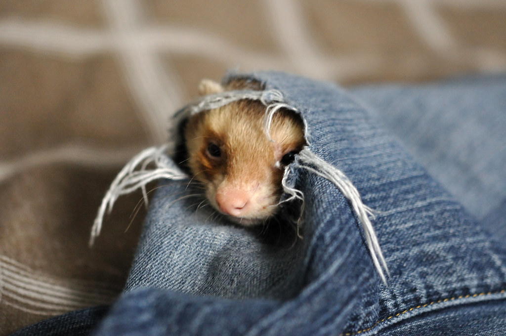 Side whiskers: 52 weeks of ferrets (38/52)