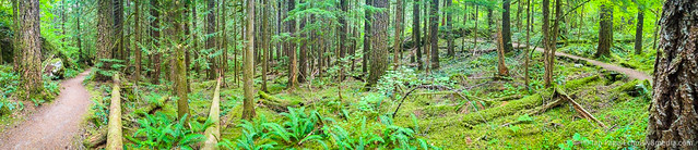 Washington Forest Panorama
