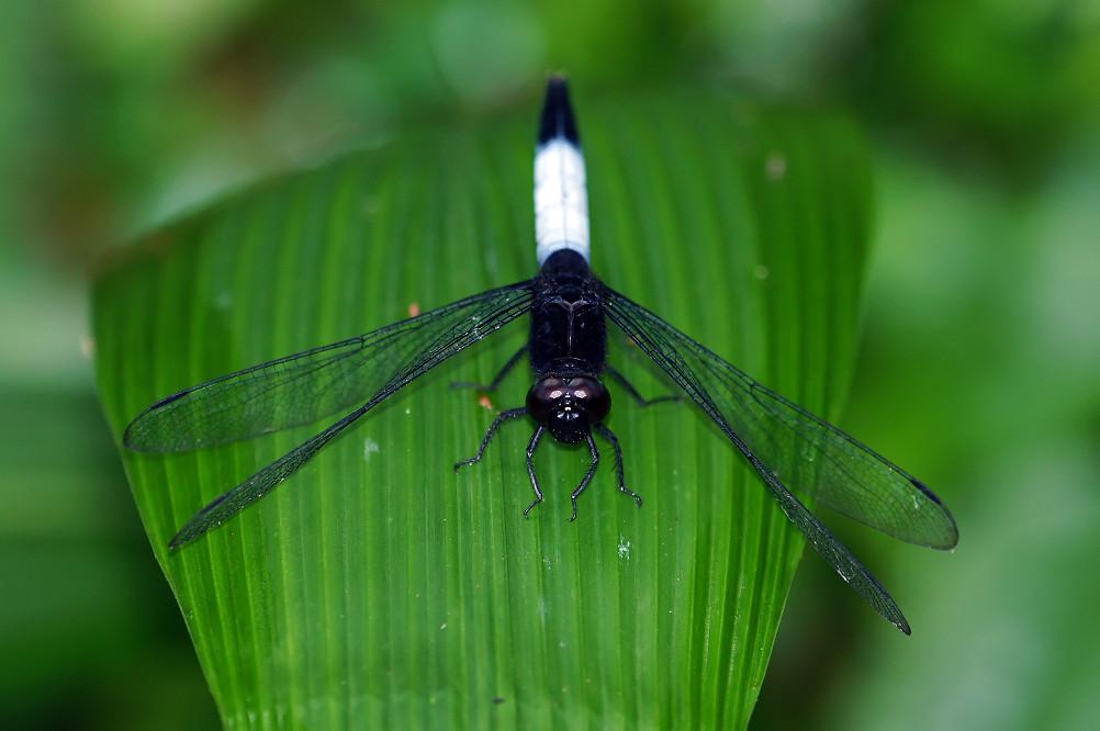 鼎脈蜻蜓-1