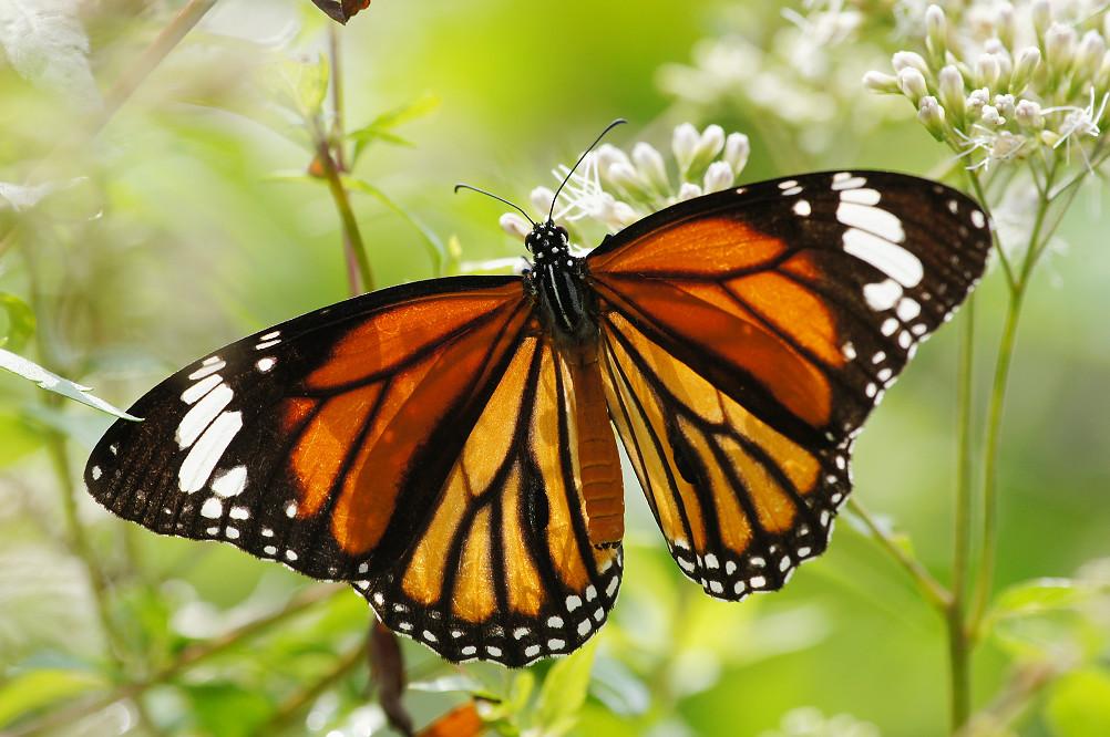 黑脈樺斑蝶-1