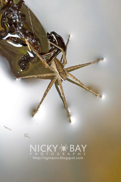 Fishing Spider (Dolomedes sp.) - DSC_6161