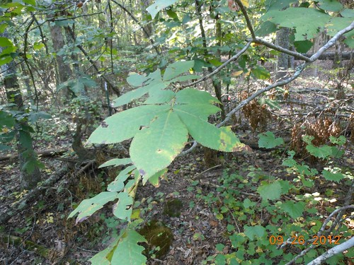<p>Leaves of a nut tree, hickory I think</p>
