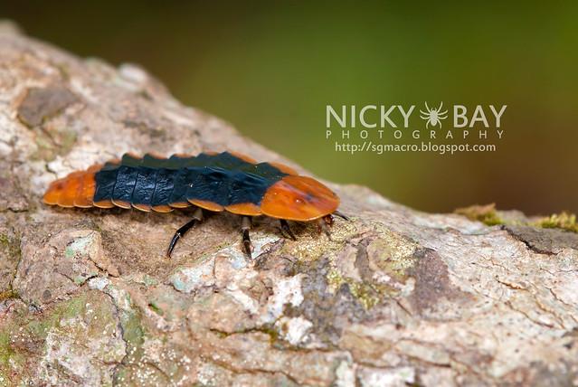 Firefly larva (Lampyridae) - DSC_5827