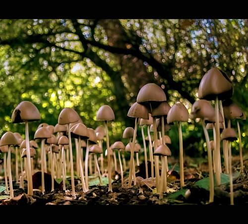 trees light holland nature mushroom netherlands dutch leaves canon woodland garden point photography photo woods view bokeh pov earth low stock powershot soil stockphoto stockphotography goudriaan wpk s95 psathyrella conopilus wpk2