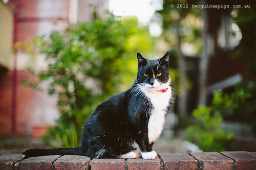 Rambo the Cat by twoguineapigs Pet Photography [7]