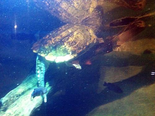 Herps Of Arkansas Alligator Snapping Turtle Macrochelys