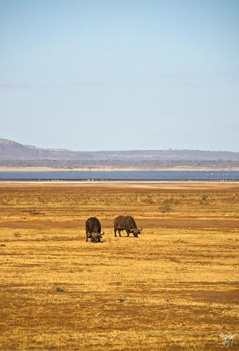 africa park lake tanzania buffalo national arusha manyara caffer sigma18200dc syncerus canoneos50d