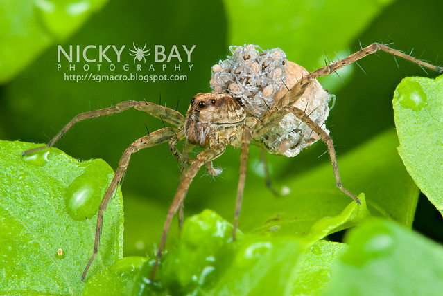 Wolf Spider (Lycosidae) - DSC_3659