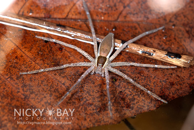 Fishing Spider (Nilus sp.) - DSC_3318
